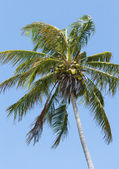 Windblown Coconut Palm — Stock Photo