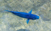 Blue Parrotfish — Stock Photo