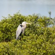 Great Blue Heron Watching Intently — Stock Photo