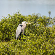 Stock Photo: Great Blue Heron Watching Intently