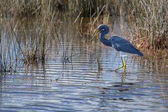 Tricolored Heron walking the Wetlands — Stock Photo