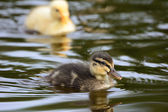 Cute ducklings at water edge — Stock Photo
