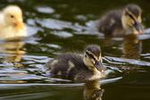 水のエッジでかわいいアヒルの子 — ストック写真