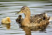 Su kenarında sevimli ördek yavrusu ile ördek — Stok fotoğraf
