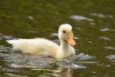 Káčátko, plavání ve vodě — Stock fotografie