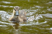 Duckling swimming in water — 图库照片