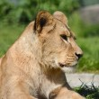 Lion close up — Stock Photo #26388253