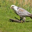 Stock Photo: Falcon with prey