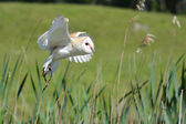 Snowowl flying — Stock Photo