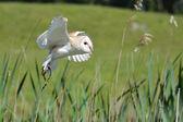Snowowl flying — Stock Photo