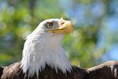 Eagle head — Stock Photo
