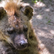 Stock Photo: Hyena lying on ground