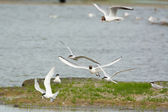 Tern seagull courting and feeding — Stock Photo
