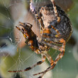 Spider eating a fly caught in web — Stock Photo