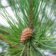 Pine cone on tree branch — Stock Photo