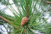 Cono del pino en la rama de un árbol — Foto de Stock
