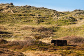 Wild cattle in the hills — Stock Photo