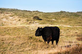 Wild cattle in the hills — Photo