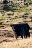 Wild cattle in the hills — Foto Stock