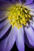 Close-up macro shot of blue flower — Stock Photo