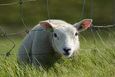 Lamb head through fence — Stock Photo