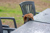 Squirrel in backyard — Stock Photo