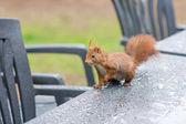 Eichhörnchen im Garten — Stockfoto