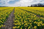Mooie veld van narcissen in volle bloei — Stockfoto