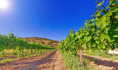 Green vineyard and blue sky in Israel HDR — Stock Photo