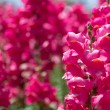 Pink purple lupin flowers — Stock Photo #48586279