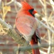 Red cardinal bird — Stock Photo