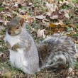 Постер, плакат: Squirrel waiting for nuts