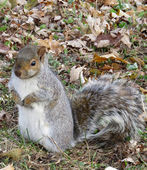 Squirrel waiting for nuts — Foto Stock