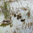 Duck with ducklings in green lake in Furnas — Stock Photo #47712257