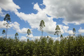Plantation of eucalyptus tree — Stock Photo