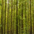 Stock Photo: Eucalyptus forest