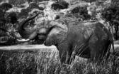Genç fil chobe ulusal parkı — Stok fotoğraf