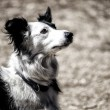Stock Photo: Sitting border collie wearing collar