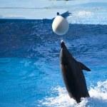 Dolfijn spelen met witte bal in water — Stockfoto #33067115