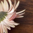 Stock Photo: Beautiful pink fallen gerber daisy on wooden background