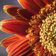 Close up of orange gerber daisy — Stock Photo #35683685
