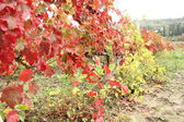 Herfst druiven — Stockfoto