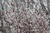 Briar in the snow — ストック写真