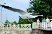 Flying seagull so close St. Petersburg — Stock Photo