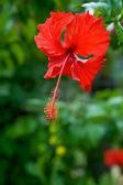 Červený květ. ibišek — Stock fotografie