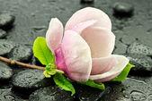 Fleurs de magnolia sur les pierres de basalte — Photo