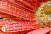 Gerbera flower close up with water droplets — Stock Photo