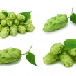 Hop cones — Stock Photo