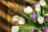 白と紫のチューリップ — ストック写真