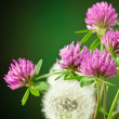 Dandelion and clover — Stock Photo